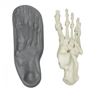 Magnetischer menschlicher Skelett-Fuss, rechts