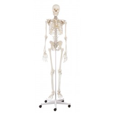 """Ganzkörper-Skelett """"Willi"""""""